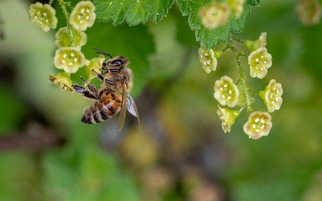 včela na rybízu.jpg